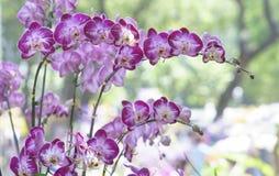 Blom för Phalaenopsisorkidéblommor i vår Royaltyfri Foto