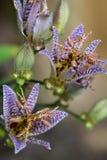 Blom för prickig purpurfärgad orkidé för leopard oavkortad royaltyfria bilder
