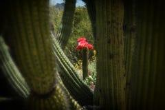 Blom för rosa färgfacklakaktus som inramas av kaktuns för organrör Royaltyfria Foton