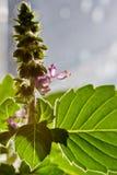 Blom för söt basilika, ocimumbasilicum arkivfoton