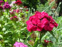 Blom för vår för sommar för trädgård för frotténejlikablommor fotografering för bildbyråer