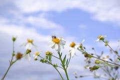 Blom för vit blomma för tusensköna i natur mot bakgrund för blå himmel arkivbild
