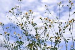 Blom för vit blomma för tusensköna i natur mot bakgrund för blå himmel arkivbilder