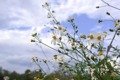 Blom för vit blomma för tusensköna i natur mot bakgrund för blå himmel royaltyfri bild
