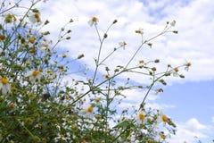 Blom för vit blomma för tusensköna i natur mot bakgrund för blå himmel royaltyfria bilder