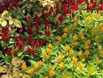 Blom- fröjd Royaltyfria Bilder