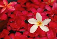 blom- frangipanis för bad Fotografering för Bildbyråer