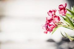 Blom- gräns med röda blommor Oleander blommar på ljust trä Royaltyfria Bilder