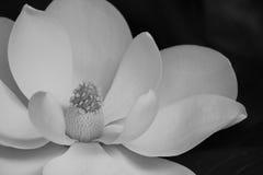 Blom i B&W Arkivbilder