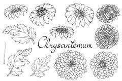 Blom- illustration för vektor med krysantemumet Isolerade best?ndsdelar p? en vit bakgrund Monokrom konturguld--tusensköna för di vektor illustrationer
