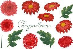 Blom- illustration för vektor med krysantemumet royaltyfri illustrationer