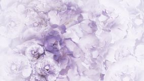 Blom- lila-vit bakgrund Lila-vit tappning blommar pioner blom- collage vita tulpan för blomma för bakgrundssammansättningsconvolv fotografering för bildbyråer