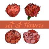blom- modell med peones med beståndsdelar av designen också vektor för coreldrawillustration arkivfoto