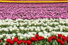 Blom- modellfält av färgrika tulpan royaltyfri bild