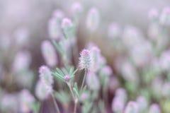 blom- naturligt f?r bakgrund N?ra ?vre sikt av l?st sommar?nggr?s med mjuka fluffiga rosa purpurf?rgade huvud arkivbilder