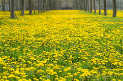Blom och respiratoriska allergier Fotografering för Bildbyråer