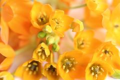 blom- orange för bakgrund Royaltyfria Bilder