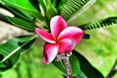 blom- pink Arkivfoton
