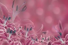 blom- pink för bakgrund Liljan blommar på en suddig bokehbakgrund vita tulpan för blomma för bakgrundssammansättningsconvolvulus Arkivbilder