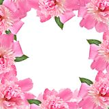 blom- pink för kant Arkivbild