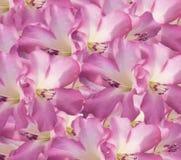 blom- purple för bakgrund Royaltyfria Foton