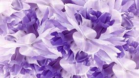 blom- purple för bakgrund Blommavit-lilor iriers tätt upp Natur royaltyfria bilder