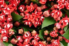 Blom- röd blommabouvardia för inregarnering och buketter textur Arkivfoto