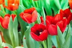 Blom- röd tulpan Royaltyfria Bilder