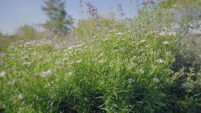 Blom- rabatt med färgrika blommor Blåa kronblad med gröna sidor stock video