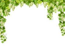 Blom- ram för vit druva Royaltyfri Bild