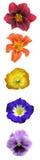 blom- regnbågevertical för stång Royaltyfria Foton