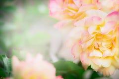 blom- ro för bakgrund Royaltyfri Bild