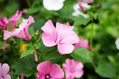Blom- rosa blommor för härlig sommar Arkivbilder