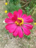 Blom- rosa färger för blommanaturväxt Royaltyfri Fotografi