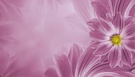 Blom- rosa härlig bakgrund Blommasammansättning av blommatusenskönan placera text Arkivfoton