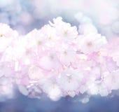 blom- sakura för bakgrund fjäder Arkivfoton