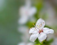 blom- soft för bakgrund Royaltyfria Foton