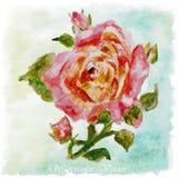 Blom- sommar för röd rosa vattenfärg, vårbakgrund färgrik ros Royaltyfria Foton