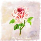 Blom- sommar för röd rosa vattenfärg, vårbakgrund färgrik ros Royaltyfri Fotografi