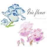 Blom- sommar för vattenfärg, vårbakgrund Blom- decorati för iris Fotografering för Bildbyråer