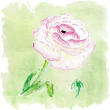 Blom- sommar för vattenfärg, vårkort Blom- decorati för Ranunculus Arkivbild