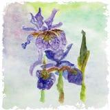 Blom- sommar för vattenfärg, vårkort Blom- dekorativt för iris Royaltyfria Foton