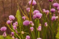 Blom- sommarbakgrund, mjuk fokus Blommande fistulosum Blurr Royaltyfri Foto