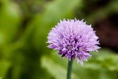 Blom- sommarbakgrund, mjuk fokus Blommande fistulosum Blurr Arkivbild