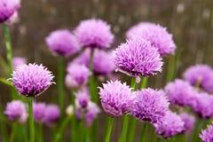 Blom- sommarbakgrund, mjuk fokus Blommande fistulosum Blurr Arkivfoton