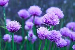 Blom- sommarbakgrund, mjuk fokus Blommande fistulosum Blurr Royaltyfri Fotografi
