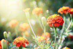 Blom- (Tagetes) bakgrund Royaltyfri Bild