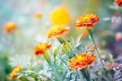 Blom- (Tagetes) bakgrund Royaltyfria Foton