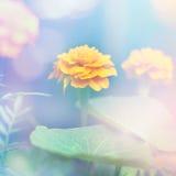 Blom- (Tagetes) bakgrund Arkivbild