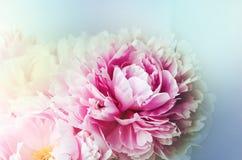 Blom- tapet, bakgrund från blommakronblad Trenden färgar rosa färger och blått Skönhetpion, pioner, rosblommor blodsugare Royaltyfri Bild